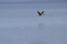 A Canada goose skims the water on Sylvan Lake