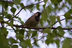 Birdsong is common at the lake