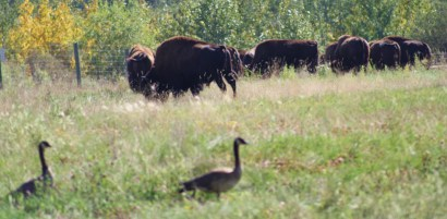 Canada geese sharte watering hole and pasture with Syncrude Bison