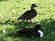 ducks bowring park
