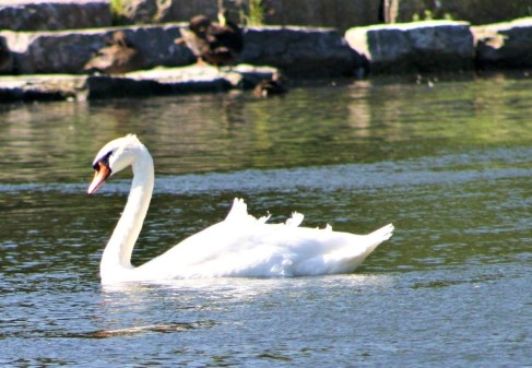 swan good 2
