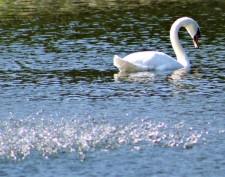 swan good