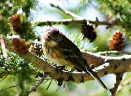 common-little-sparrow