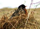 robin-in-spring