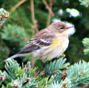 sweet-sparrow