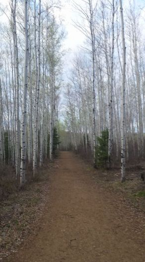 Birch wood trail in Fort McMurray, AB