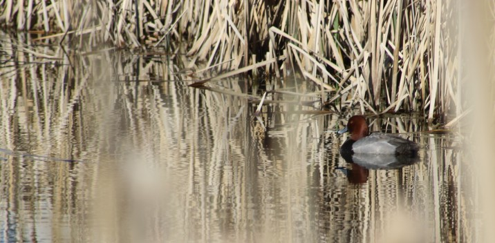 Red-headed Duck photo by Carol Morrissey Hopkins