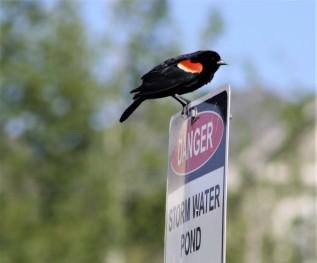 Red winged Blackbird photo by Carol Morrissey Hopkins