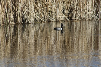 Ring-necked Duck photo by Carol Morrissey Hopkins