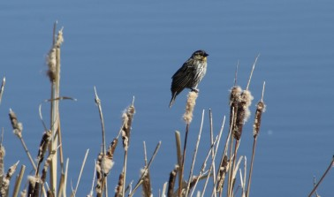 Sparrow - photo by Carol Morrissey Hopkins