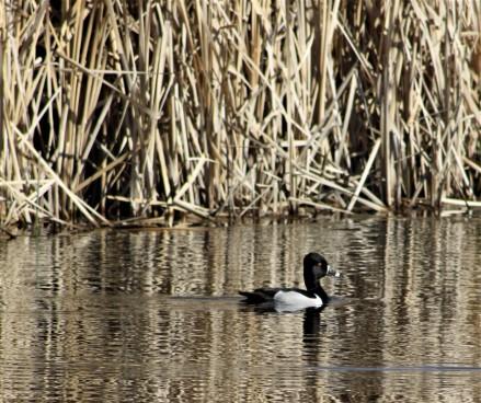 The Great Salt Lake Duck - photo by Carol Morrisssey Hopkins