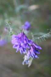 purple wild flower