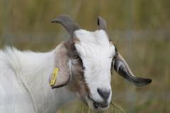 Billy Goat munchees