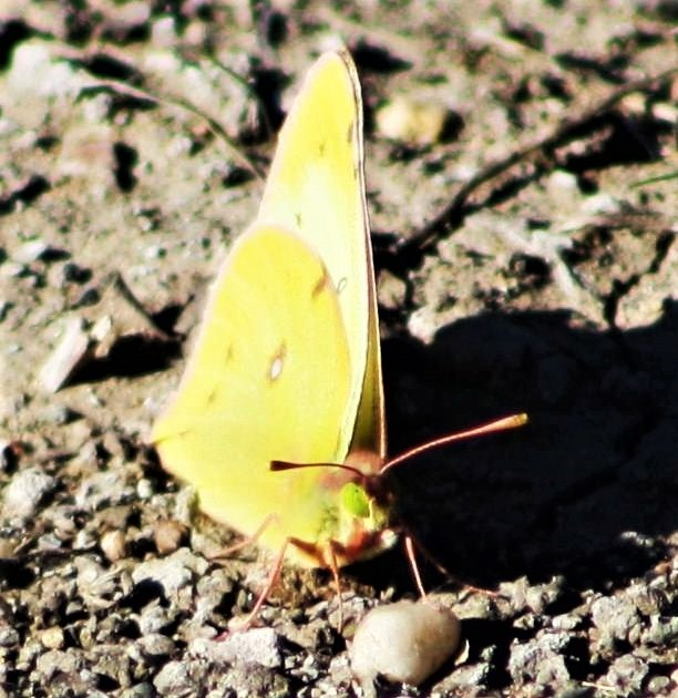 yellow butterfly2222222222